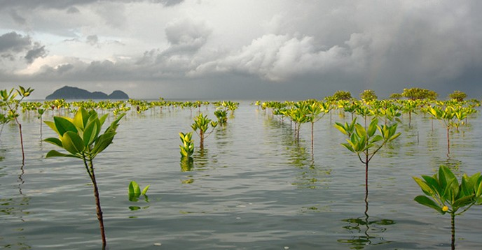 Replanted mangrove in Thailand